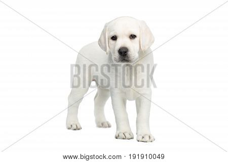 Small Labrador puppy Standing and Looking forward on isolated white background, front view
