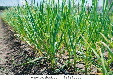 Growing Garlic In Plant. Farm Vegetable. Small Sapling Of Garlic. Garlic Plantation. The Germs Of Ga