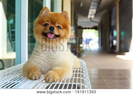 Happy Smile Pomeranian Small Dog Cute Pet