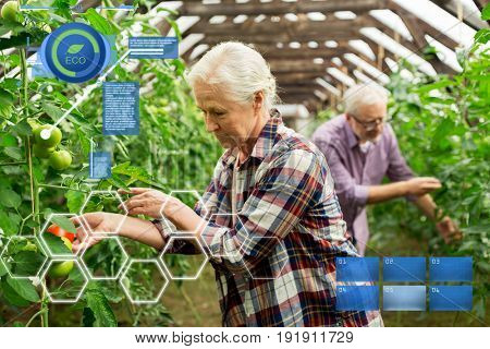 organic farming, agriculture and people concept - senior woman and man harvesting crop of tomatoes at greenhouse on farm