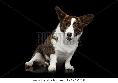 Brown Welsh Corgi Cardigan Dog Sitting on Isolated Black Background, front view