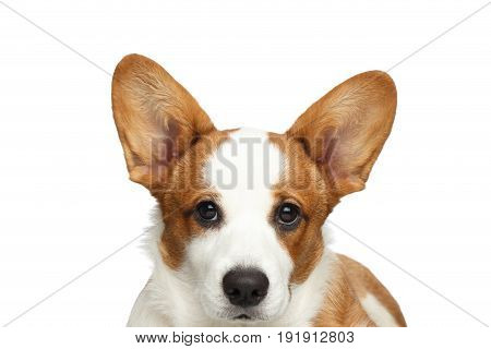 Close-up Portrait Red Welsh Corgi Cardigan Dog with cute face on Isolated White Background, Front view