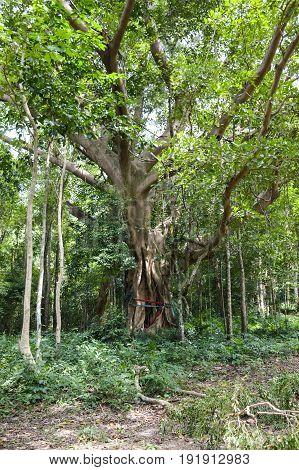 fresh Ficus benjamina tree in nature garden