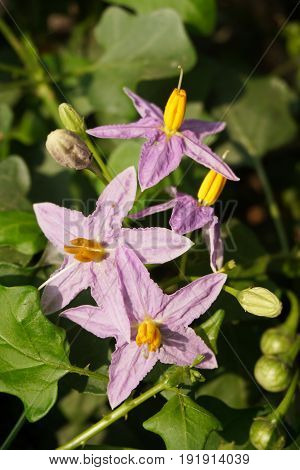 fresh Solanum trilobatum flower in nature garden
