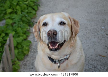 Funny silly little pet Retriever looking in the eyes