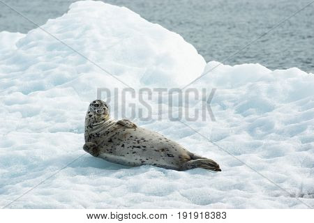 Poser Sea Lion Laying on Iceberg North Pacific Ocean