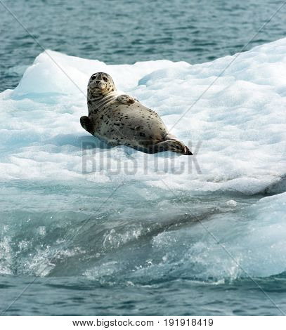 This Sea Lion appear to know he is being photographed a wild animal aying on ice in the Pacific Ocean