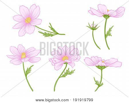 Cosmos flowers. Set of colored flowers.Stock line vector illustration.