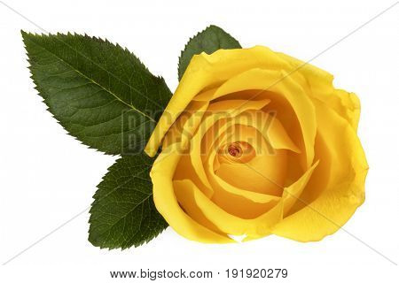 Yellow rose isolated on white.  Top view.