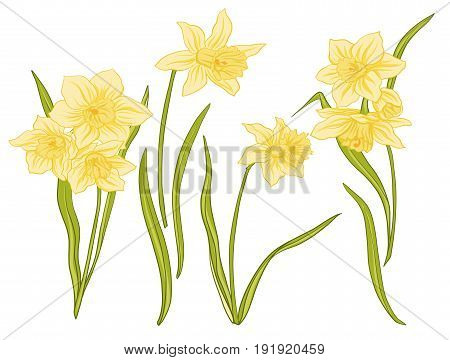 Narcissi flowers. Set of colored flowers.Stock line vector illustration.