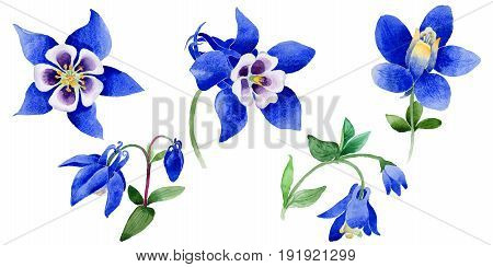 Wildflower Blue aquilegia flower in a watercolor style isolated. Aquarelle wild flower for background, texture, wrapper pattern, frame or border.