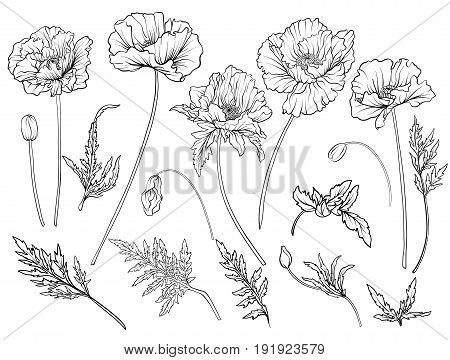 Poppy flowers. Set of outline flowers.Stock line vector illustration. Outline hand drawing coloring page for coloring book.