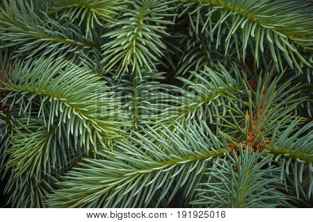 Young blue spruce branches are shot close-up in the park