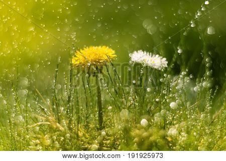 Dandelion and Daisy in the rain. Macro with beautiful bokeh.