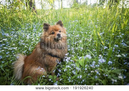 Beautiful German Spitz sits on the green lawn in the colors. Red fluffy dog on a summer background. Cute shaggy puppy, portrait on the street at sunset.