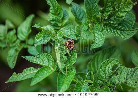 Reproduction Of The Colorado Potato Beetle - Leptinotarsa Decemlineata. Three Colorado Beetle Sittin