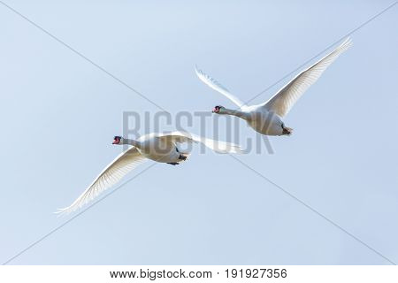 Two Mute Swans (cygnus Olor) In Consecutive Flight