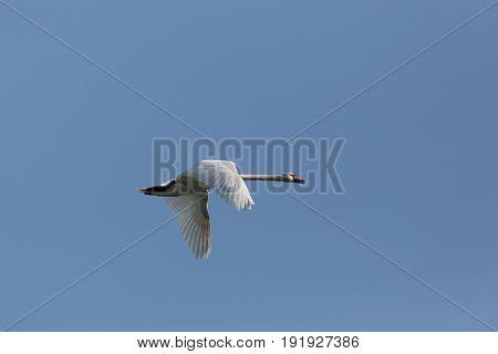 Mute Swan (cygnus Olor) During Flight Blue Sky