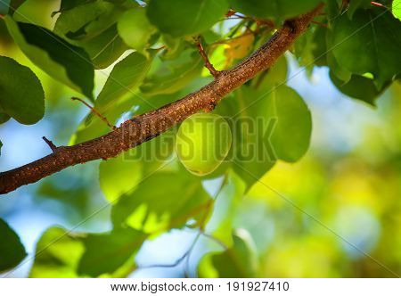 Unripe Fruit Of A Green Apricot Hanging On A Tree Branch In The Garden.