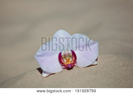 A gentle pink orchid flower lies on the sand on the beach.
