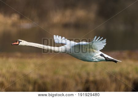 Mute Swan (cygnus Olor) During Flight With Reed Belt