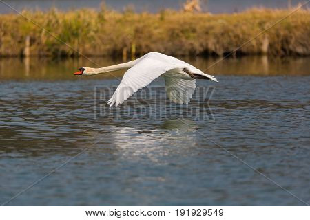 Natural Mute Swan (cygnus Olor) During Flight Over Water Surface