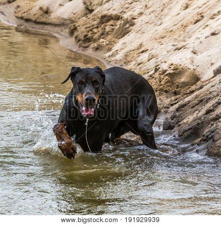Dog Doberman Runs Along The Edge Of The Water.