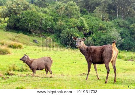 Sambar deer or Cervus unicolor is resting in high grass