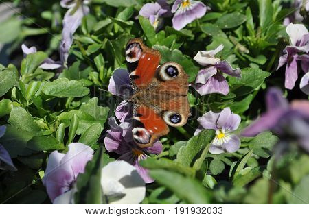 Beauty in spring- butterfly landed on a pansy flower