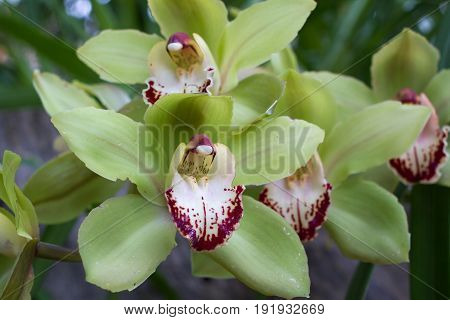 Yellow Cymbidium orchid in pot. Beauty flower