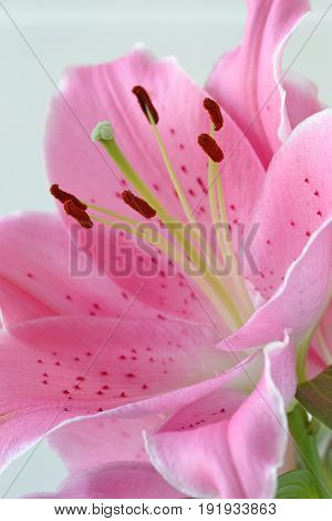 Lilium flower close up - oriental lily
