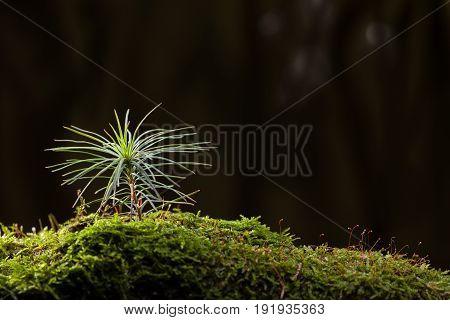 Fir Tree Sapling