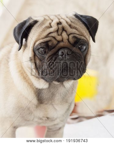 My puppy lovely dog pug name Zumo