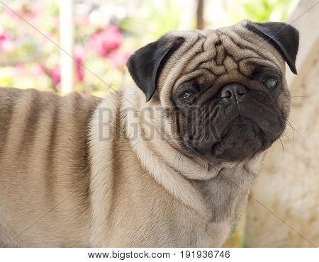 My puppy lovely dog pug name Zumo