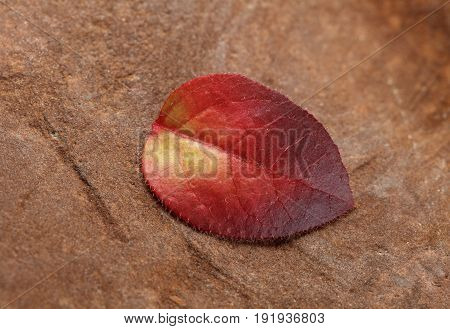 Macro of tiny red abscissed leaf of whortleberry (Vaccinium uliginosum) in fall over rough rock