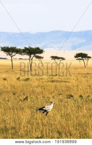 Secretary bird in the grass. Kenya, Africa