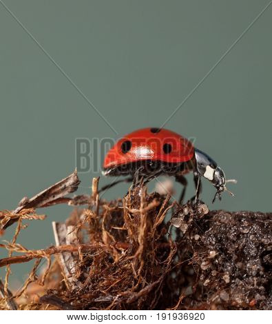 Ladybird On Dry Peatmoss