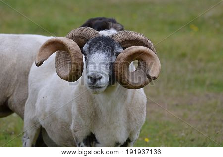 Large ram with curling horns in a field in the Scottish Highlands.
