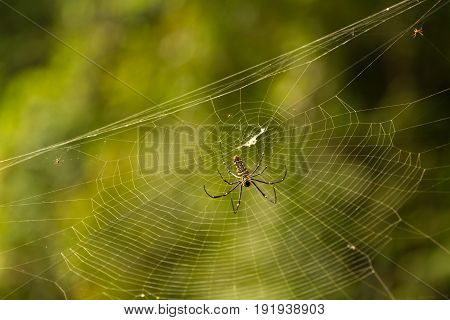 Nephila maculata, Giant Long-jawed Orb-weaver, Giant wood spider on web
