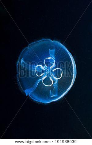 One Moon Jellyfish - Aurelia Aurita, Fluorescent In Dark Water.