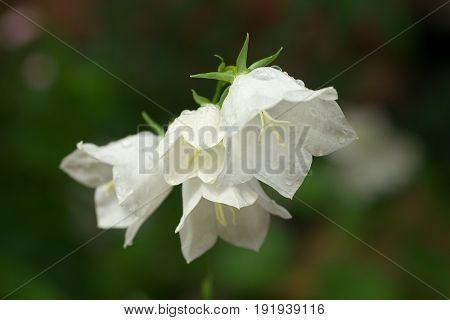 White Campanula flower Macro closeup white bellflower.