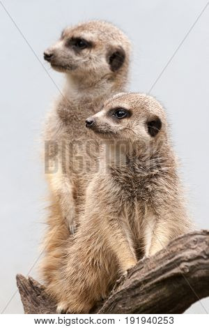 Two Suricate Standing On A Wooden Branch