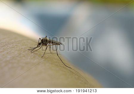 Close up of mosquito sucking blood on human skin Mosquito is carrier of Malaria/ Encephalitis/ Dengue/ Zika virus.