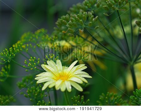 Marigold flower and fennel dill and daisy healthcareHerbal collection?