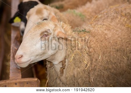 Side view of blind sheep without eye