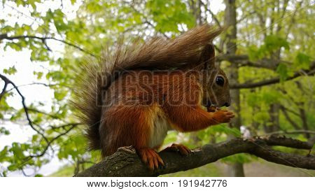 Bright brown squirrel gnawing on a nut while sitting on a tree branch. Selective focus