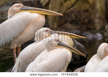 Group of pelican resting on a lake Pelecanus philippensis