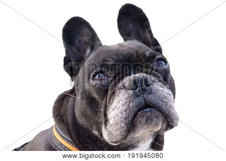 Black french bulldog, looking up pitiful. Big funny ears turning the head, asking for food. Isolated white background