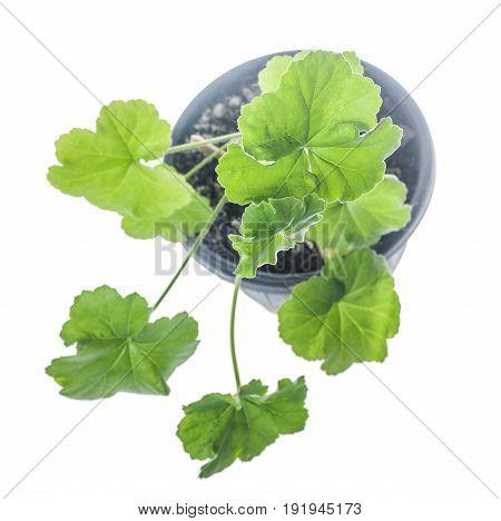 Pelargonium Growing In Pot