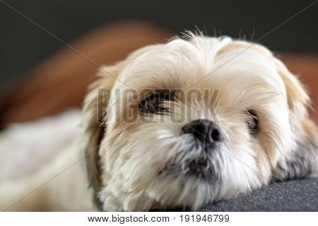 White Shih Tzu Laying On The Floor